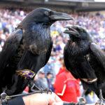 "Quoth the Ravens ""P.U.P."""
